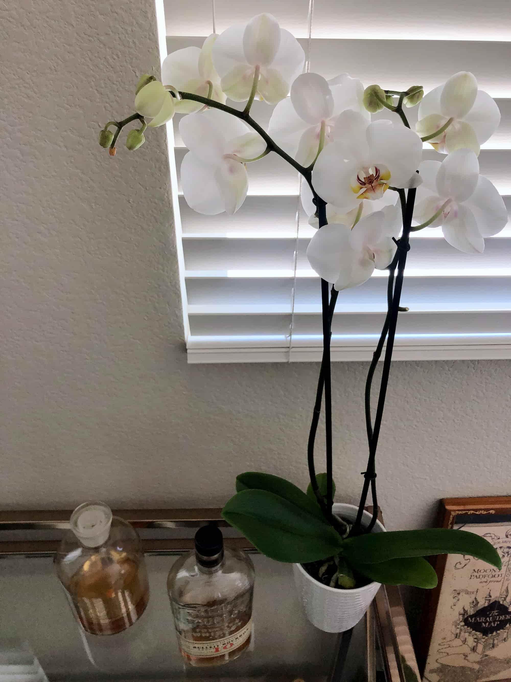 Graces plant